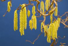 Hazel Contorta Catkin Stage. The catkins of a Hazel plant (Latin Contorta variety stock photo