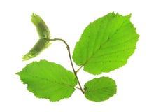 Hazel (Corylus avellana) Stock Images