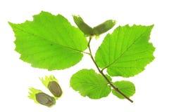 Hazel (Corylus avellana) Stock Image