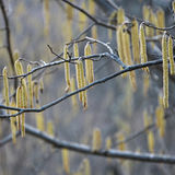 Hazel corylus flowering. Long bright yellow flowering hazel corylus catkins swaying in the wind Royalty Free Stock Photos