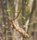 Hazel. Dry the shackle and the hazel leaf in early spring stock photography
