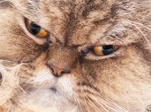 Hazel eyed Persian cat Royalty Free Stock Image