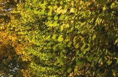 Hazel foliage in autumn Stock Photography