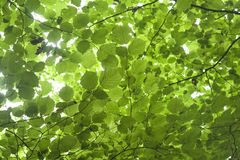Hazel green foliage Royalty Free Stock Photography