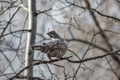 Hazel Grouse Photos stock