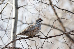 Hazel Grouse Stock Photo
