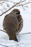 Hazel grouse Royalty Free Stock Photography