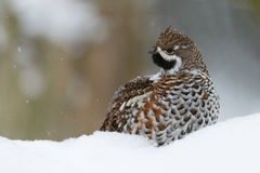 Hazel grouse Royalty Free Stock Images