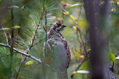 Hazel grouse. Variegated hazel grouse tufted sitting on branches in a dense forest stock images