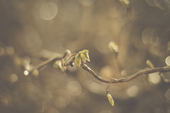 Hazel leaf. First hazel leaves in springtime; beautiful background due to sparkling raindrops royalty free stock images
