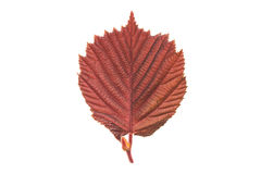 Hazel leaf. Isolated red leaf of a hazel tree stock photography