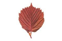 Hazel leaf Stock Photography