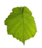 Hazel leaf isolated on white. Background Stock Images