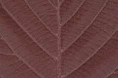 Hazel leaf. Macro of a red leaf of a hazel tree royalty free stock images
