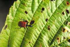 Hazel leaf-roller weevil Royalty Free Stock Image