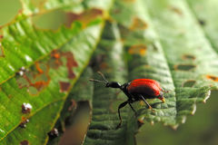Hazel leaf-roller weevil Royalty Free Stock Photos