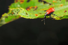 Hazel Leaf-roller Weevil Stock Photo