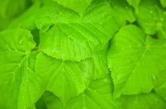 Hazel leafs Royalty Free Stock Image