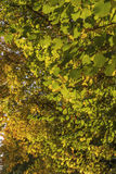 Hazel leaves in autumn. Hazel leaves with autumnal colors Royalty Free Stock Photography