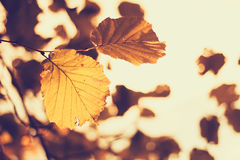Hazel leaves. Autumn-colored leaves of a hazel tree stock photos