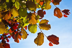 Hazel leaves in autumn under clear blue sky Royalty Free Stock Photography
