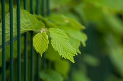Hazel leaves in the hedge at spring. Closeup of hazel leaves in the hedge at spring royalty free stock image