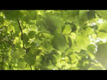Hazel leaves and late afternoon sky. Corylus avellana, the common hazel - leaves on a late afternoon golden sun sky stock footage