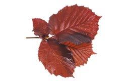 Hazel leaves. Wet red leaves of a hazel tree stock photo