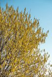 Hazel Male Catkins Corylus avellana in spring. Against a blue sky royalty free stock photo