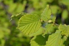Hazel Merveille de Mollwiller. Leaves - Latin name - Corylus avellana Merveille de Mollwiller royalty free stock photography
