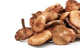 Hazel mushroom Stock Images
