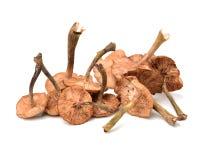 Hazel mushroom. Isolated on white background stock image