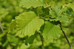 Hazel Nottingham Fruhe. Latin name - Corylus avellana Nottingham Fruhe stock images