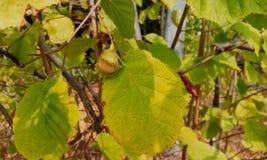 Hazel, nut tree. Nutwood forest hazel Royalty Free Stock Images