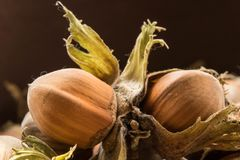 Hazel nuts collected from the forest. royalty free stock photos