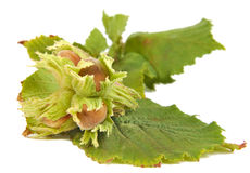Hazel nuts or Corylus avellana with leaves Royalty Free Stock Images