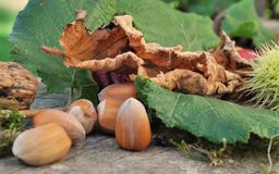 Hazel nuts among leaves Royalty Free Stock Photos