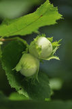 Hazel Nuts Stock Images