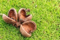 Hazel sterculia or tropical chestnut. Over green garsses field Stock Photo