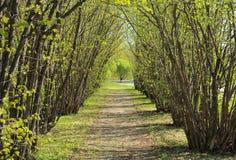 Hazel tree avenue in early spring. A sunny day stock photos