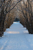 Hazel tree avenue a sunny winter day Royalty Free Stock Image