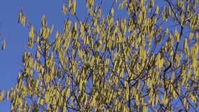 Hazel tree flowering. On sunny spring day against blue sky stock footage