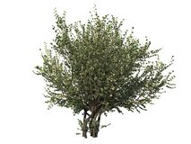 Free Hazel Tree. Isolated On White Background. 3D Rendering Stock Images - 184039924