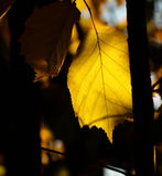 Hazel tree leaf in the autumn Royalty Free Stock Image