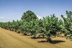 Hazel Tree Plantation Stock Photos