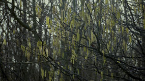 Hazel tree in spring, male and female flowers. Stock Photos