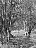 Hazel trees. In winter in Sweden in black and white Stock Photos