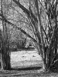 Hazel trees. In winter in Sweden in black and white Stock Images