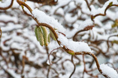 Hazel twigs snow-covered Stock Images