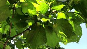Hazelnootaanplanting in Ceretto, Piemonte, Italië stock footage